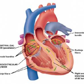 Cardiovascular Anatomy of the Heart